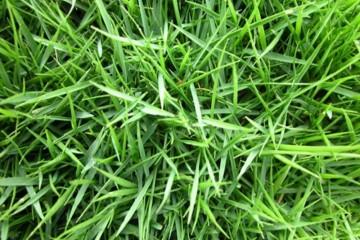 湖南马尼拉草皮一般用什么肥料?