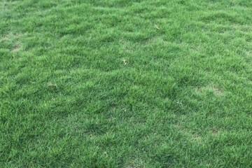 广州带泥绿化草皮之草坪的栽培技术