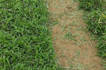 云浮大叶油草草卷浅谈草坪杂草的防除技术