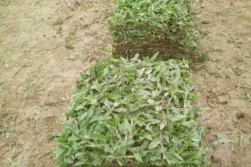 广州带泥绿化草皮之大叶油草可以护坡吗