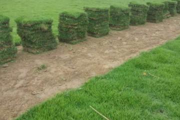 云浮大叶油草可以撒草籽繁殖吗