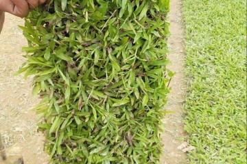 广州大叶油草教你如何培育种出好的草皮