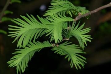 重庆优质水杉小苗价格,水杉小苗供应批发