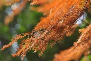 河南水杉之水杉物种现状
