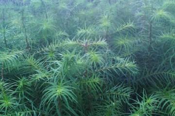 批发优质杉苗价格之杉苗形态特征