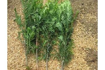 贵州红豆杉苗木种类