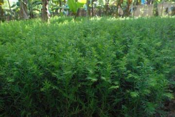 批发浅谈红豆杉苗木的繁殖技术