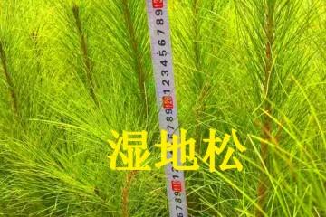 贵州湿地松苗之松针褐斑病的症状及防治