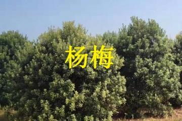 安徽杨梅树苗之杨梅栽植技术分享