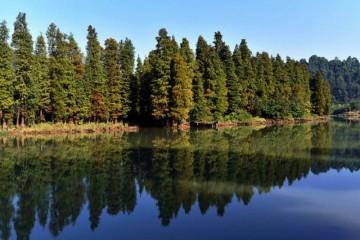 山西落羽杉出售报价,优质落羽杉在哪里买