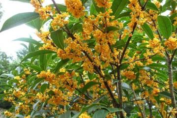 海南茶园套种桂花树好处多