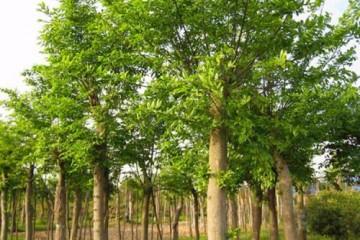 句容优质榉树哪家好,榉树供应价格
