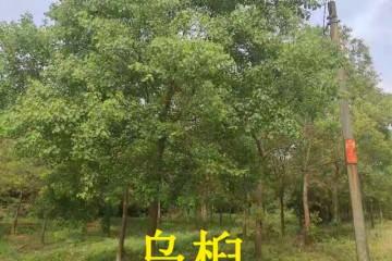 江苏乌桕树价格之乌桕种子播种方法好学吗