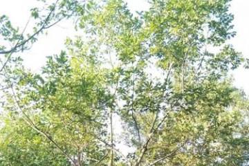 陕西朴树多少钱一颗之朴树栽种的注意事项