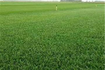 基地绿化草皮批发价格多少