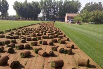 批发绿化草皮价格多少一平