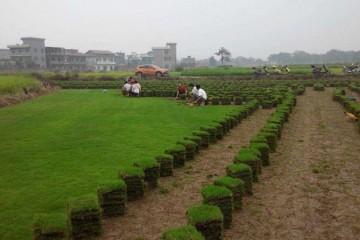 深圳草皮基地讲述如果你的草坪生病了