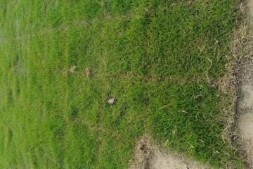 桂林百慕大草坪供应商