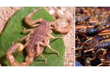 山西药蝎供应商讲述不同阶段的蝎子养殖