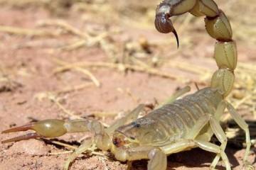 山西蝎子养殖基地之蝎子养殖土壤门道