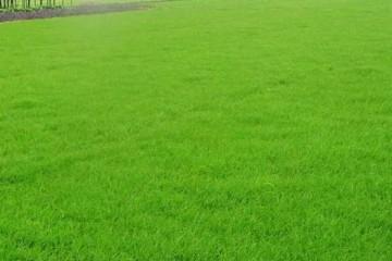 上饶简述台湾青草坪植物的含义