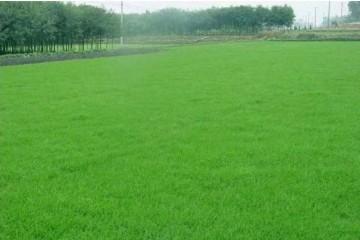 台湾青草坪讲述草种浸种快速催芽方法