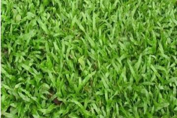 批发大叶油草别墅绿化的施工