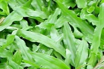 批发价格大叶油草可以撒草籽繁殖