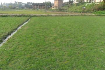 基地台湾草讲述人造草坪的积水和色差