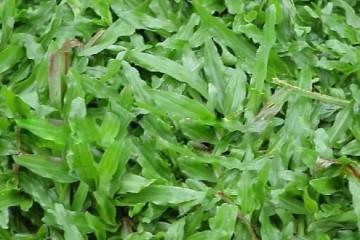 批发大叶油草观赏价值是什么?