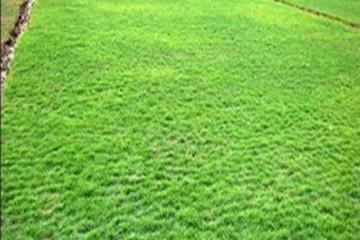 河南台湾草与夏威夷草的区别