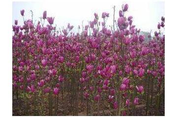 贵州红玉兰苗的栽培技术