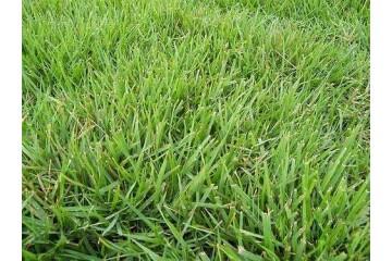 宜春中华结缕草草坪基地的草怎样才能提高存活率