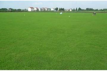 南宁百慕大草坪建植最快的两种方法