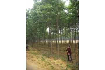 江苏金丝楸树被看好的市场优势