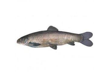 贵阳鱼苗放生厂家讲述青鱼病害防治技术
