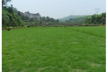 批发草皮基地供应之我们应该如何选择绿化草皮