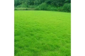 批发草皮基地在草坪出苗后的田间管理方法