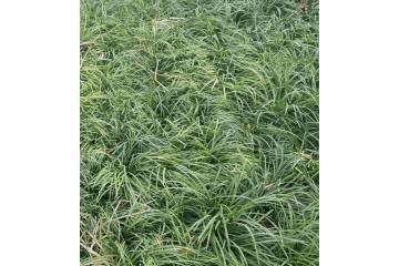 湖南丹麦草什么时候栽植成活率最好?