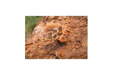 洛阳药蝎养殖培训分析养蝎子的食物喂养问题