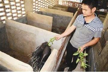 海南豪猪养殖技术分析豪猪半散放饲养技术