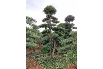金华罗汉松树桩之什么品种造型罗汉松叶子最小