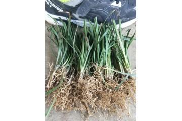 桂林干湿麦冬批发价格