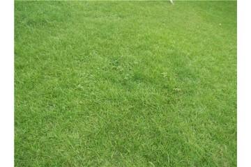 批发价格草皮种植之草坪生长不佳的原因