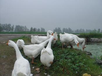 信阳鹅苗供应商讲述鹅苗育雏的温度