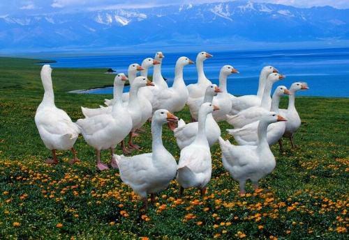 洛阳狮头鹅厂家讲述如何饲养管理幼鹅