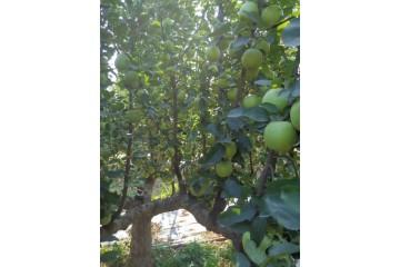 云南绿苹果苗批发之果树追肥