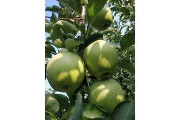 陕西青苹果苗批发与果园管理