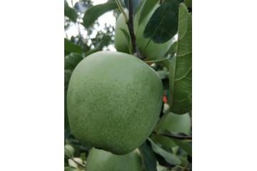 新疆青苹果苗的寒潮补救与方法