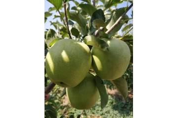 河北青苹果树苗批发之种植技术